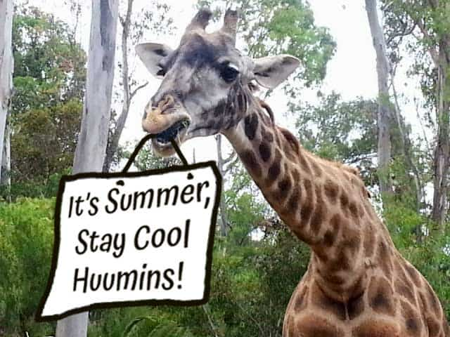"""Giraffe at San Diego Zoo holding a sign which says, """"It's Summer, Stay Cool Huumins!"""""""