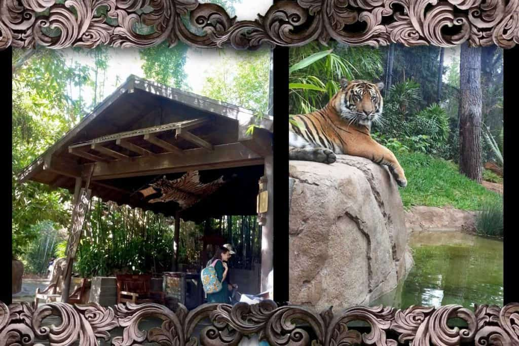 Pondok and tiger on rock above pool at Tiger Trail in San Diego Safari Park.