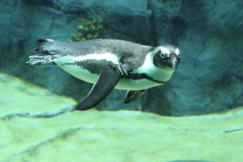South African penguin swimming in the San Diego Zoo's African Penguin exhibit.