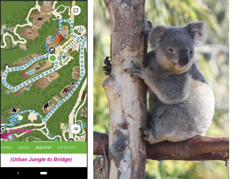 San Diego Zoo map. Walking route from one horned Indian rhinos & koalas to bears.