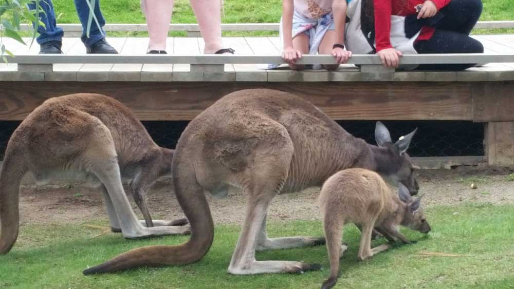 Kangaroo Walk in Walkabout Australia is included with Admission to San Diego Safari Park.