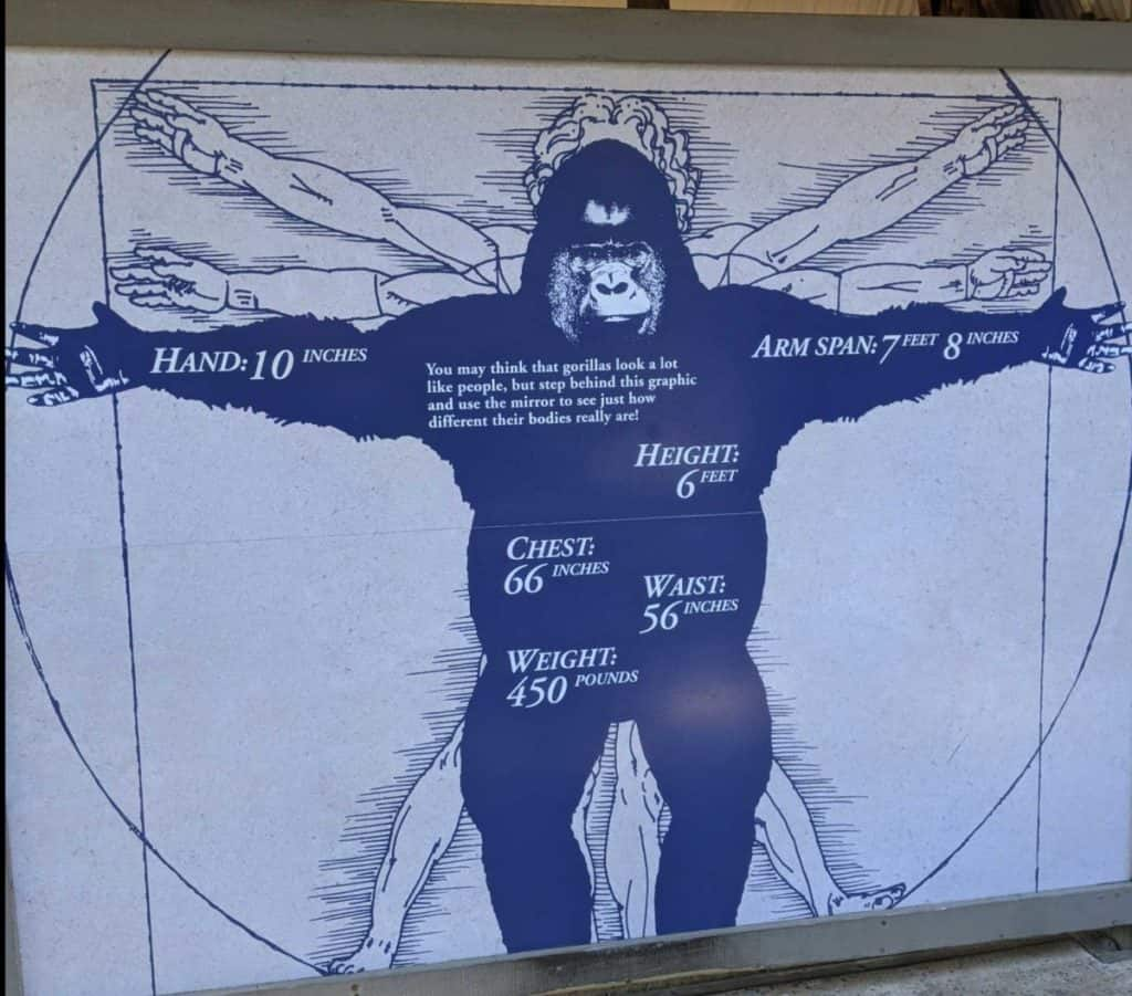 Gorilla-Human size comparison drawing at the San Diego Zoo.