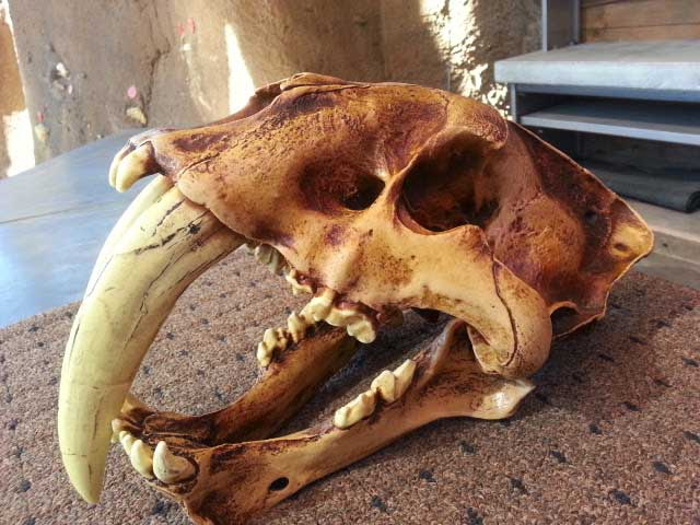 Saber tooth tiger skull replica at San Diego Zoo's Elephant Odyssey
