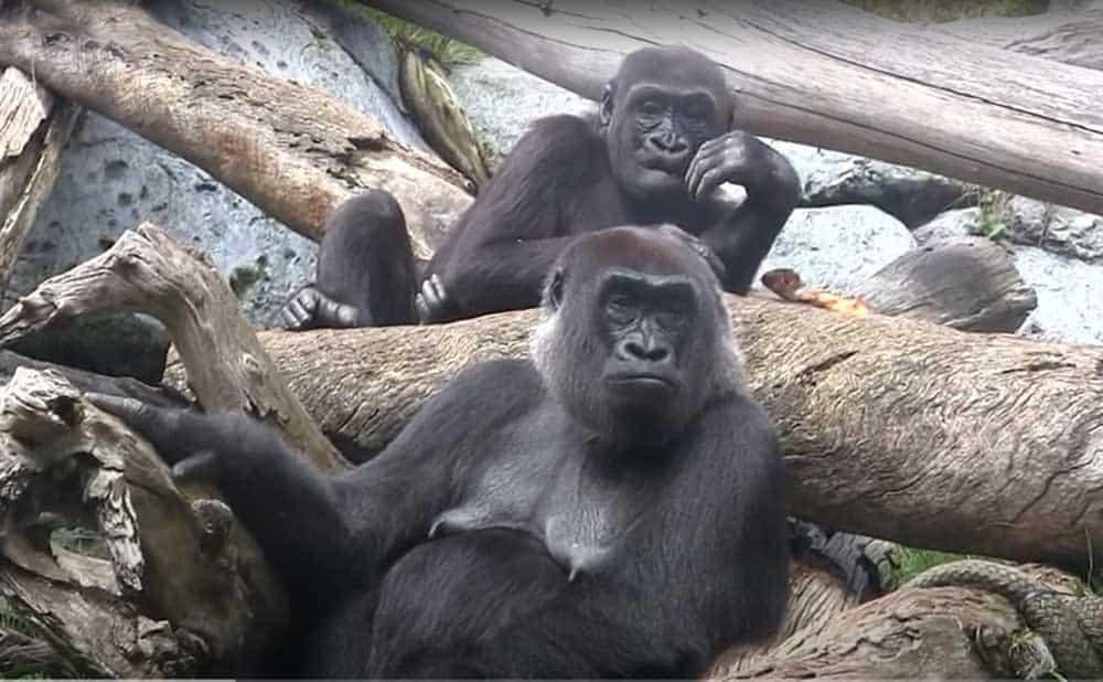 San Diego Zoo - two Western Lowland gorillas. In the Lost Forest