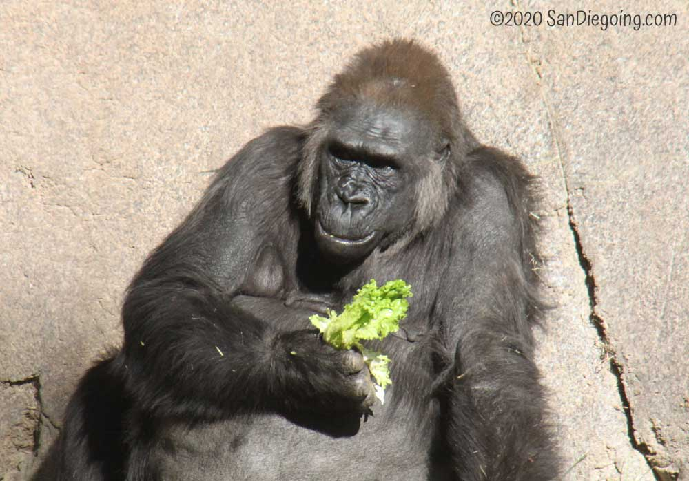 San Diego Zoo Western Lowland Gorilla eating lettuce in Lost Forest.