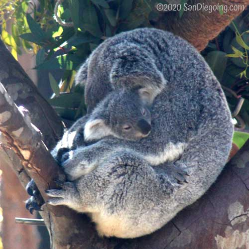Koala doe sleeping with her joey in the Australian Outback exhibit at San Diego Zoo. Photo by Bob Ulrich.