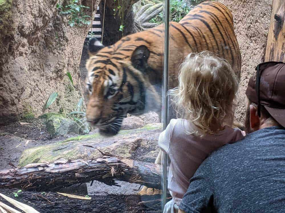 San Diego Zoo tiger exhibit. Small girl watching tiger walk by.
