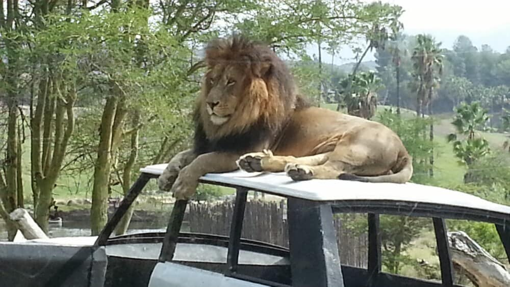 Lion on top of old jeep in the Lion Camp exhibit at San Diego Safari Park.
