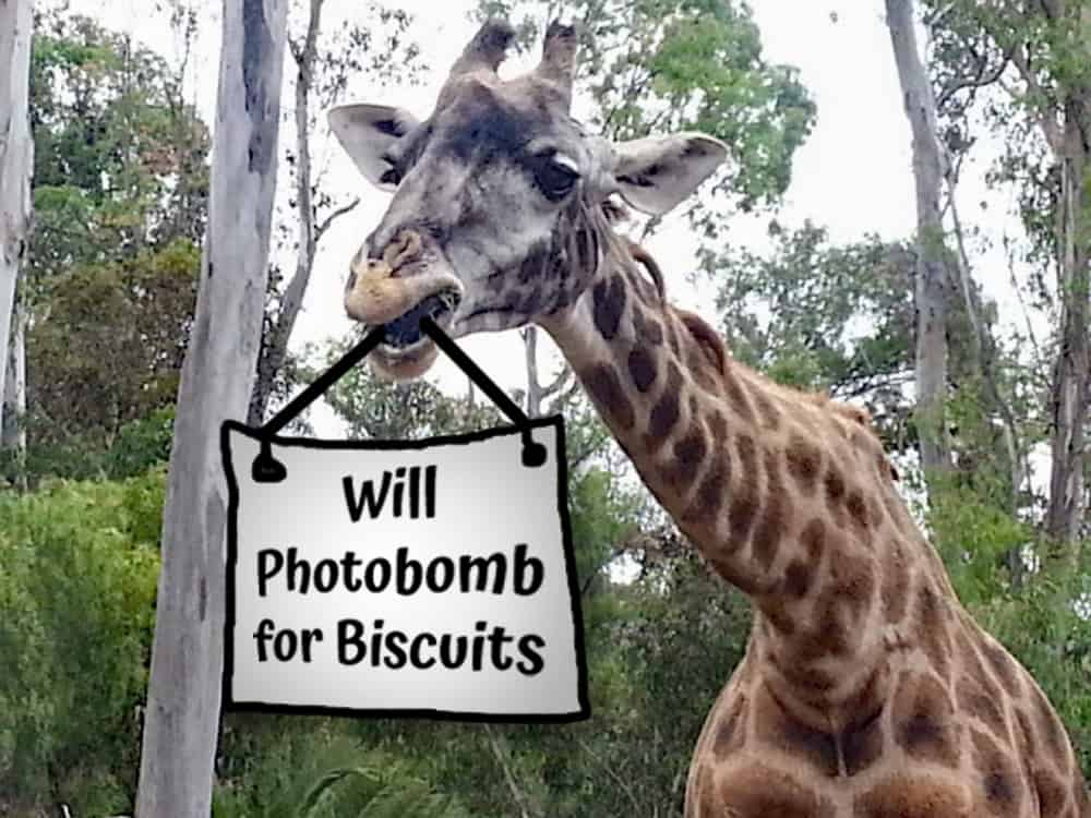 San Diego Zoo giraffes will photobomb for biscuits.