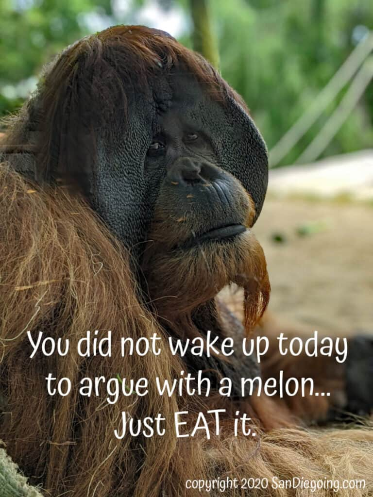 """San Diego Zoo orangutan cheeked male offers forest wisdom. """"You did not wake up today to argue with a melon...Just EAT it."""""""
