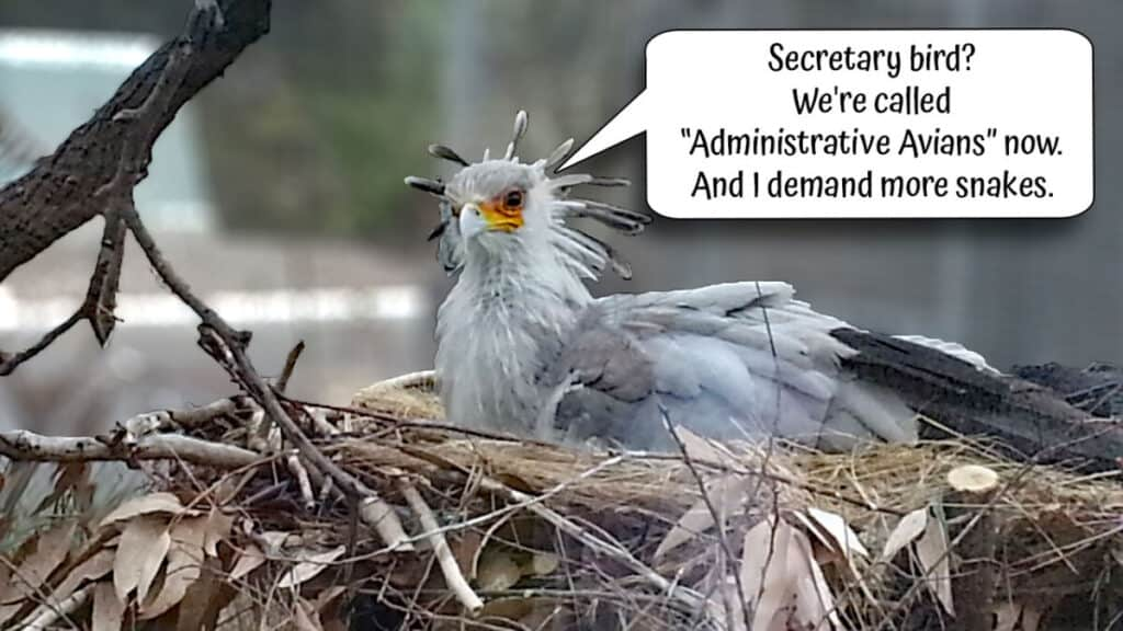 """Secretary bird in the Elephant Odyssey exhibit at San Diego Zoo makes a comment, """"Secretary bird? We're called Administrative Avians now. And I demand more snakes."""""""