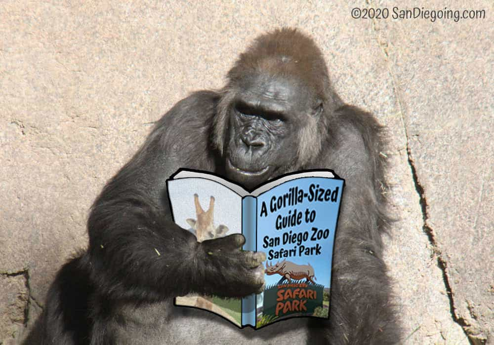 """A photo of a gorilla. There's a book in his hand titled, """"A Gorilla-sized Guide to San Diego Zoo Safari Park""""."""