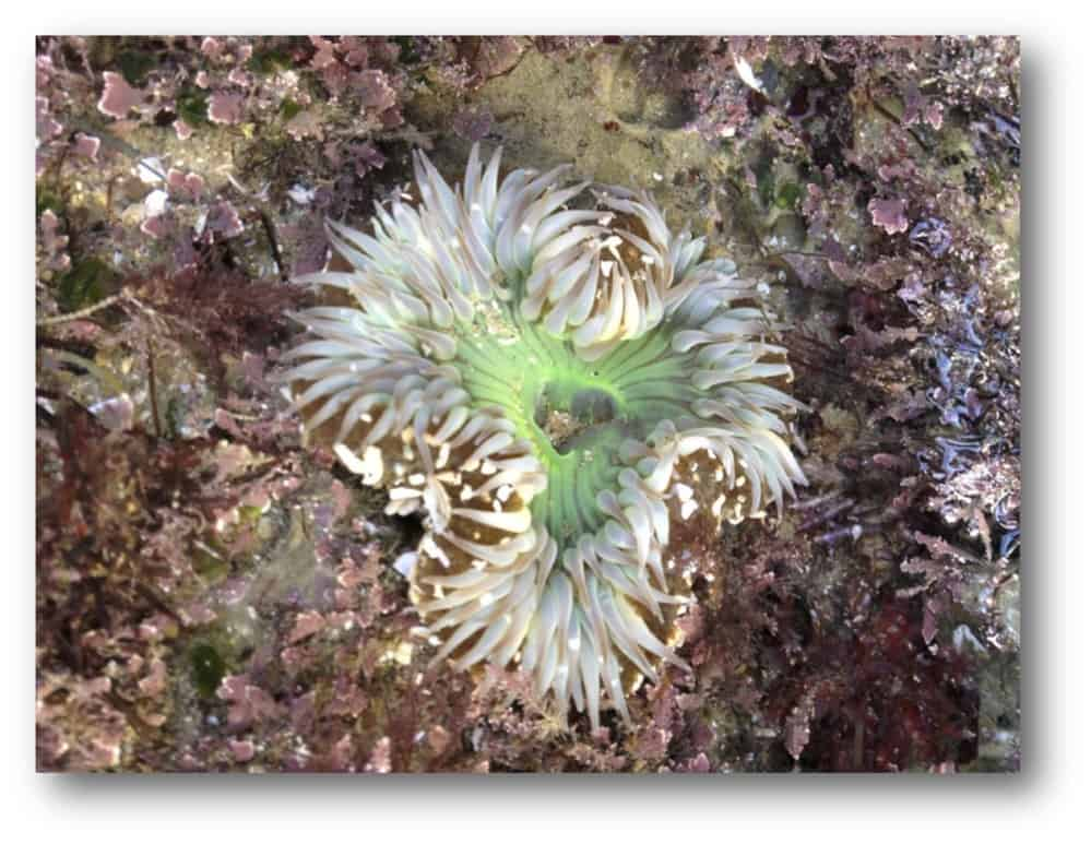 Tide pool at Cabrillo National Monument with Solitary Anemone (Anthopleura sola).