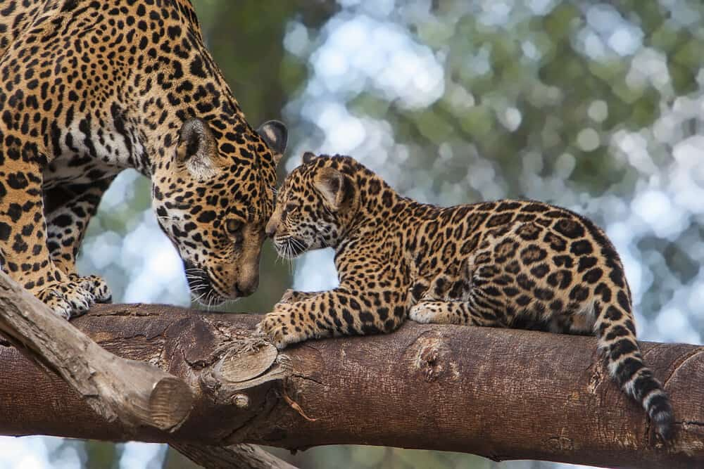 Leopard and her cub on a branch at San Diego Zoo.