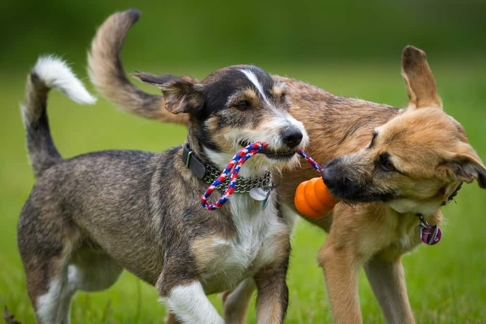 Two dogs playing together on grassy field