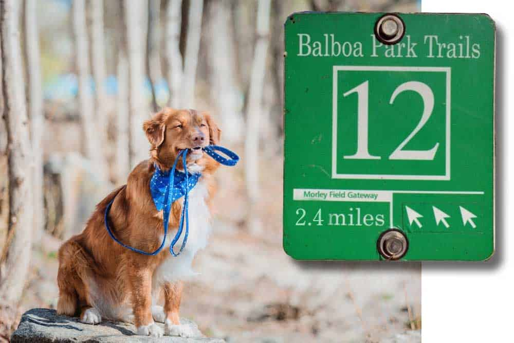 Photo montage of Balboa Park Trail #12 sign and golden retriever wearing a blue bandana and holding a leash in its mouth.