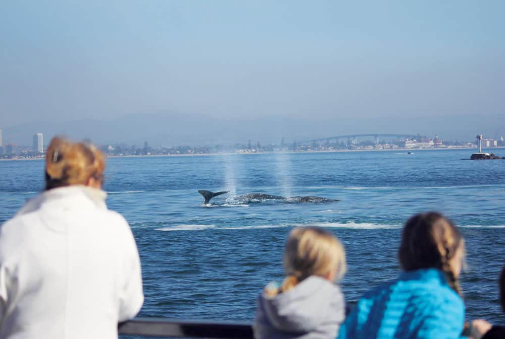 San Diego whale watching tour showing gray whales in the water. Image courtesy of Flagship Cruises & Events.
